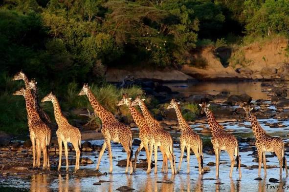 les-girafes-77