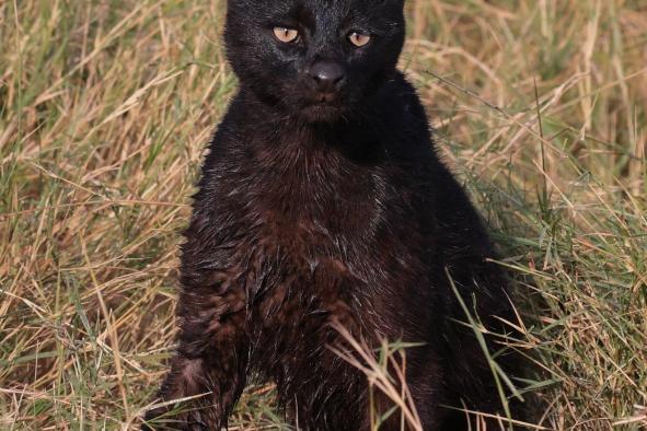 serval-noir-83