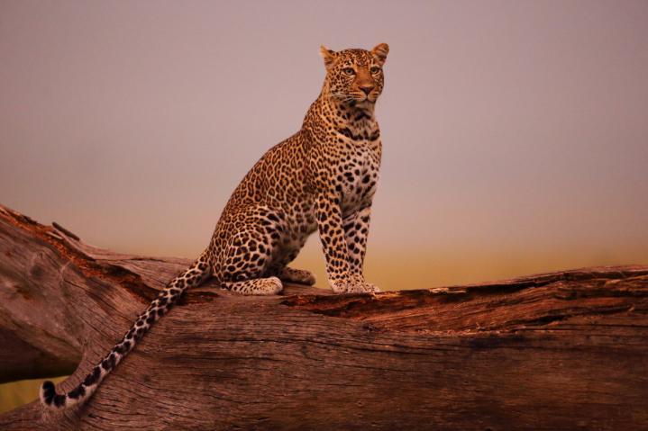Rêver le léopard
