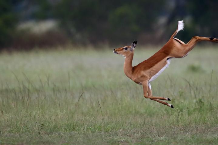 Les impalas dansent