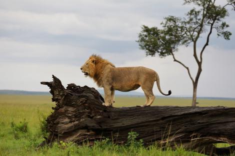 Dans l'intimité des lions du Masai-Mara